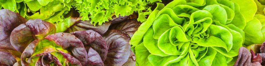 Variouscropsoffreshlettucepictureid517519171